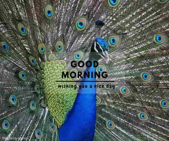 good morning nature with peacock