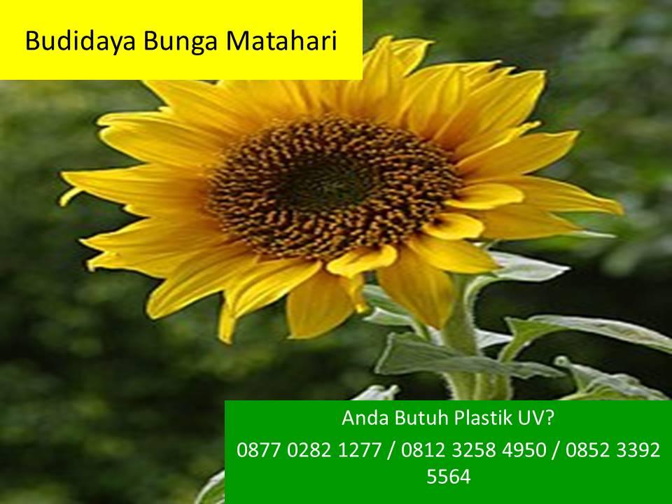 1000 Gambar Bunga Matahari Simpel  Terbaik