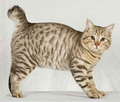 วันของคนรักแมว: รายชื่อสายพันธุ์แมวชนิดอื่นๆที่น่าสนใจ