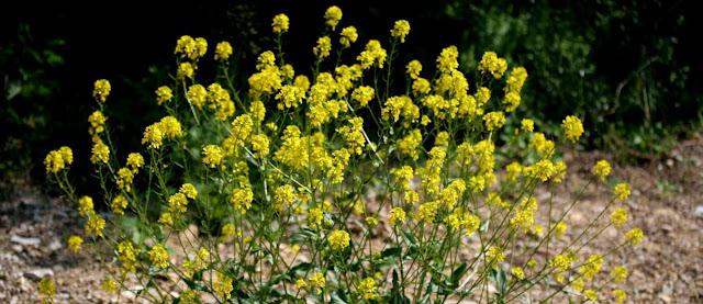 Hierba de Santa Barbara y plantas cruciferas