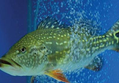 Habitat & karakteristik Peacock Bass Temensis