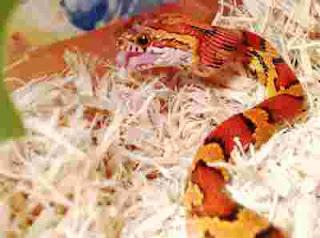 anak ular