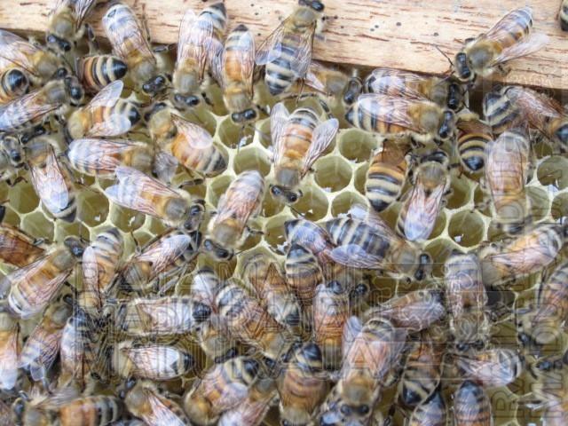 Sarang Lebah yang Masih Muda