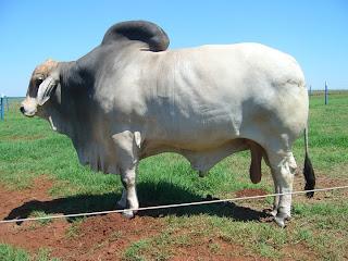 performan reproduksi sapi madura induk dengan ... - (Fapet) UB