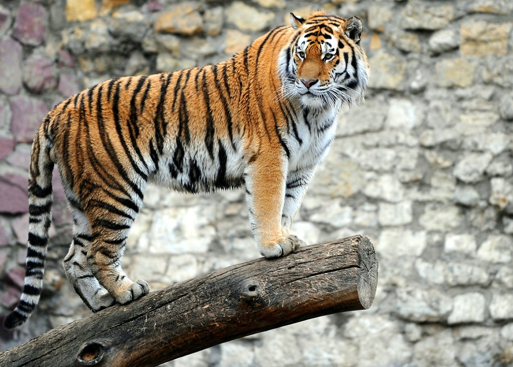 The Tiger | Fastest Animal In The World | Animals Lover