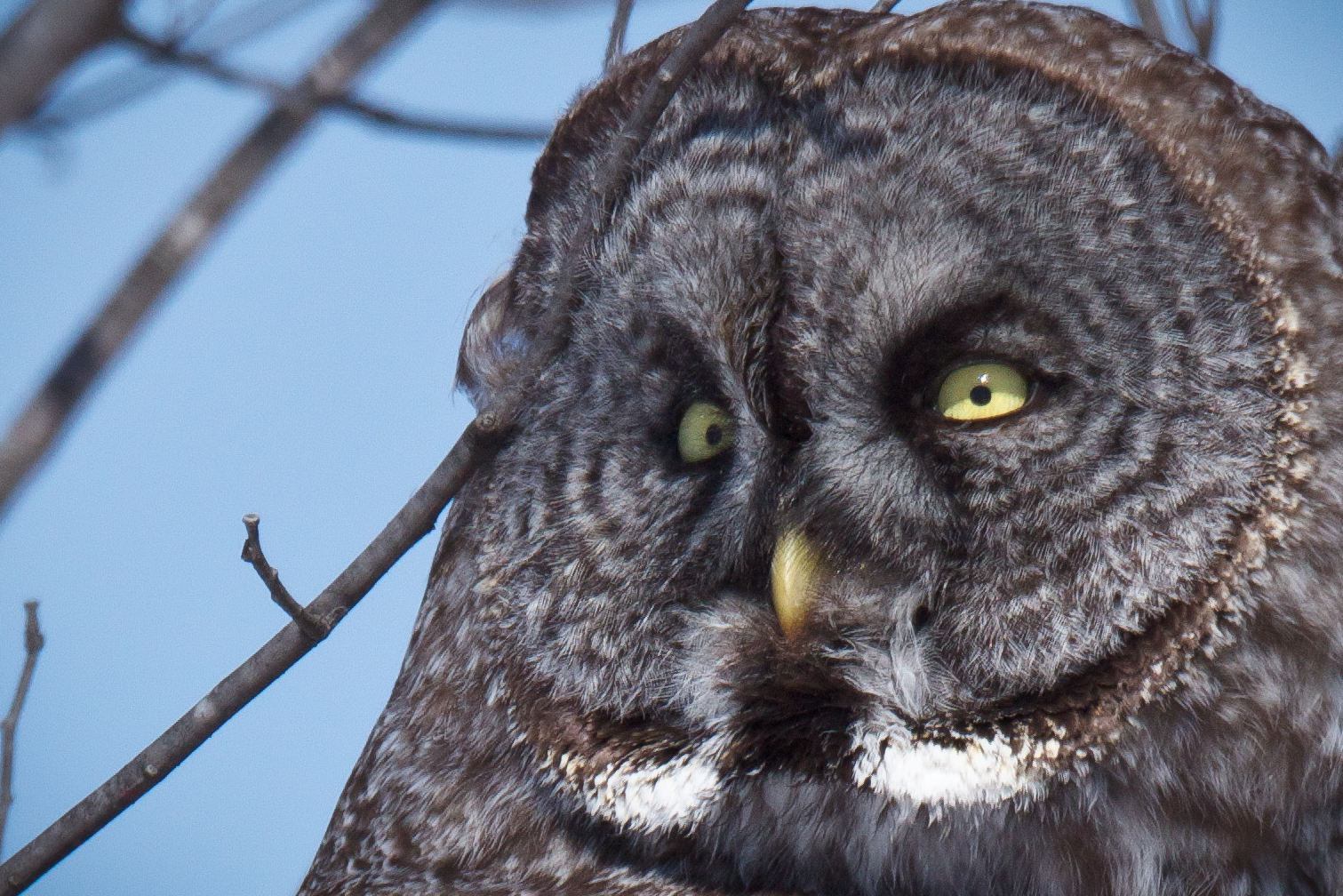 Feather Tailed Stories: Great Gray Owl