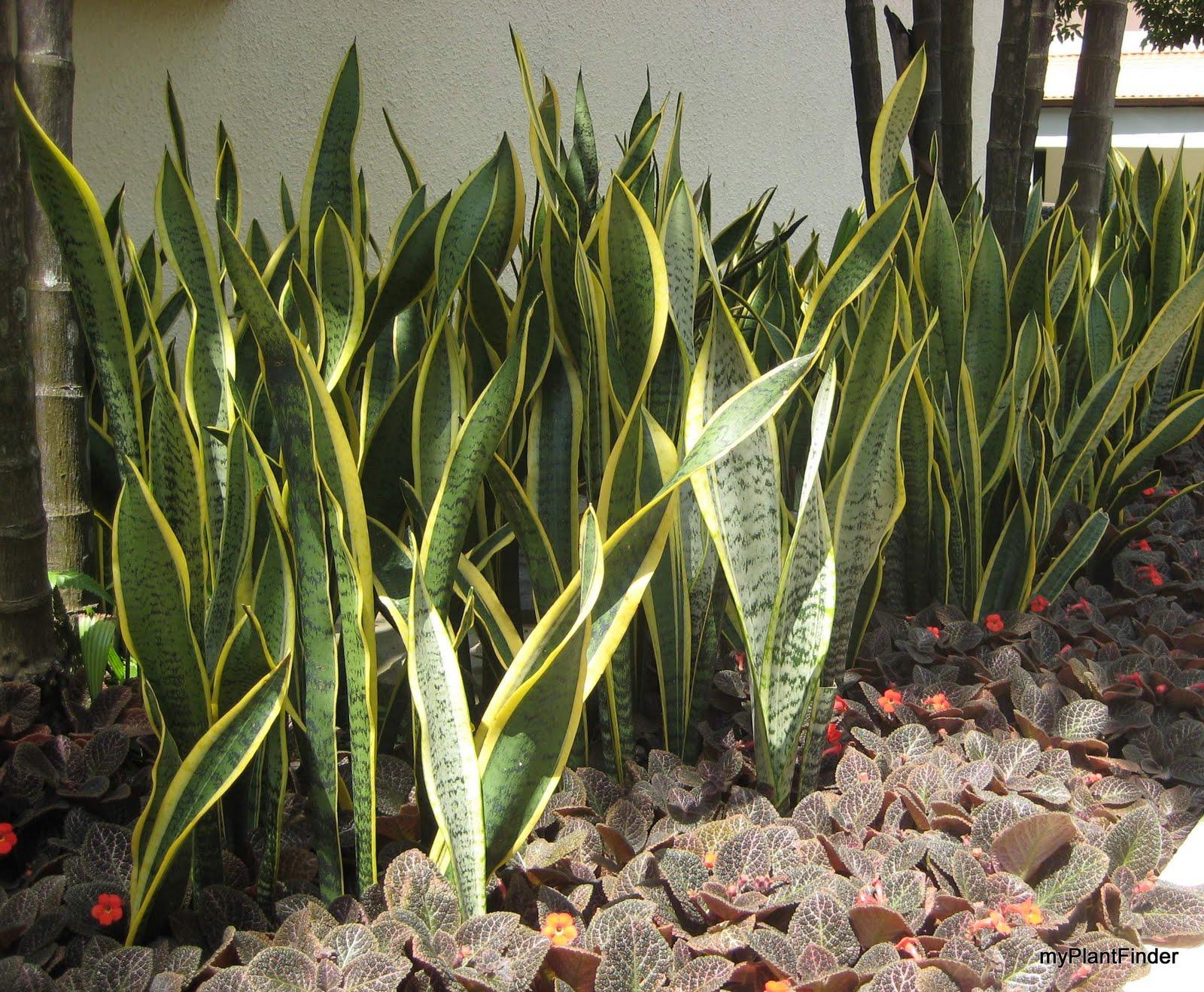 my plant finder plant guide sansevieria trifasciata 39 laurenti 39. Black Bedroom Furniture Sets. Home Design Ideas