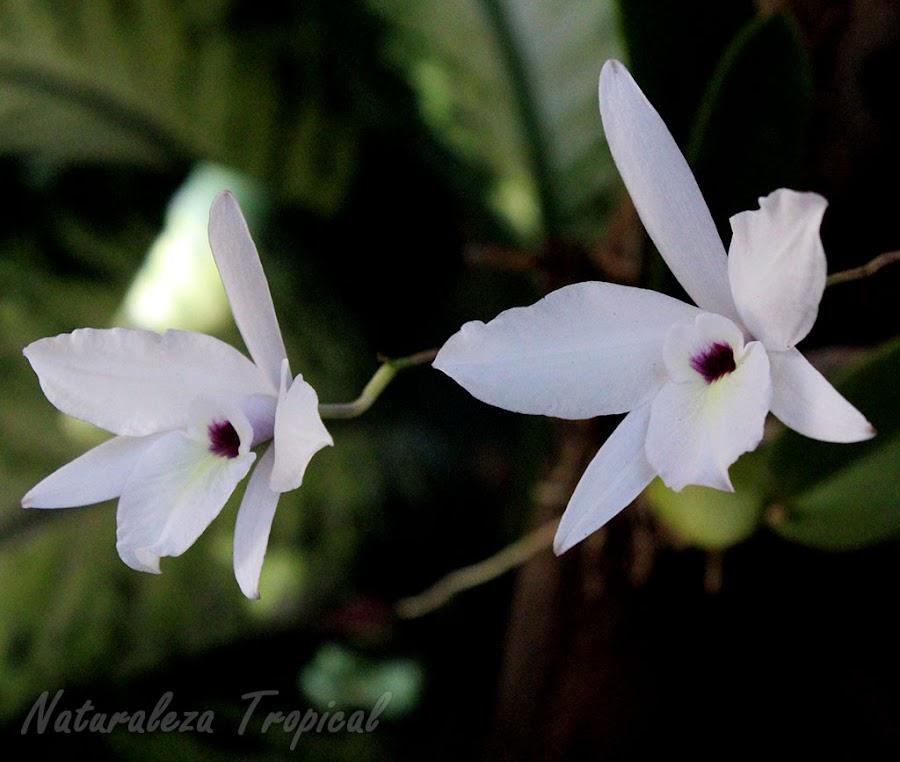 Pareja de flores de la Flor de Colmena, Laelia rubescens