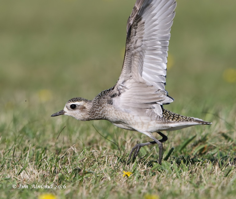 Shropshire birder scilly day 3 american golden plover but at least another opportunity or flight bbs agp magic birding freerunsca Images