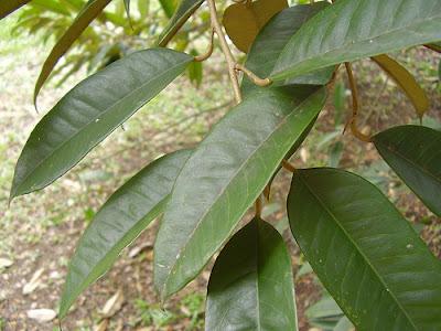 Foglie di Durian