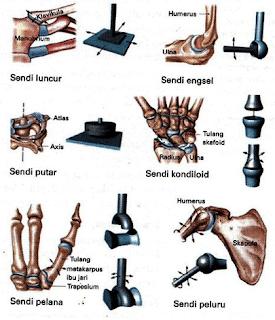 Sendi Amfiartrosis Dan Diartrosis Beserta Jenis - Jenisnya