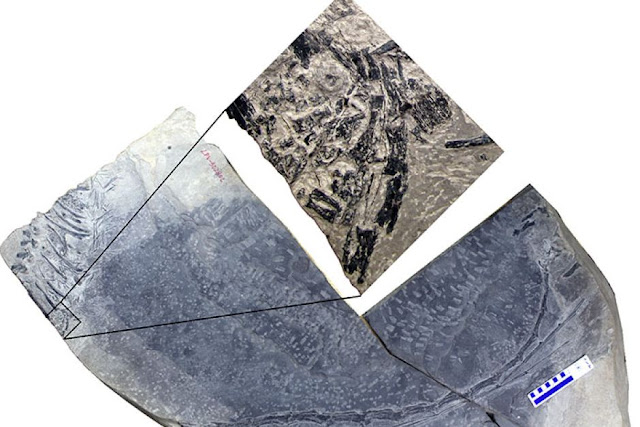 Fossil discovery rewrites understanding of reproductive evolution