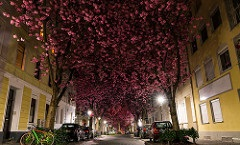 Heerstrasse, Cherry Blossom Tunnel, Bonn, Germany