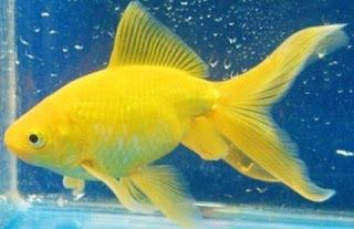Gambar Ikan Mas Koki Watonai