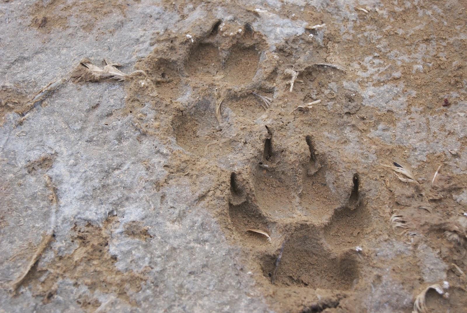 Lobos Perros Siluetas Mamíferos: El Valle De Sabero: Huellas De Mamíferos