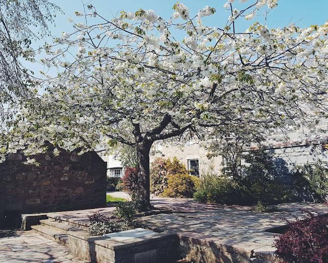 blog - blossom tree aberdeen