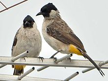 foto burung sedang nangkring di atas antena TV Mengapa Burung Jantan Kehilangan Alat Kelaminnya Ketika Bertambah Tua???