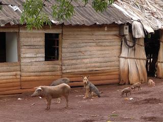 Kuba, Baracoa, bäuerliches Haus, ländlich, Schweine