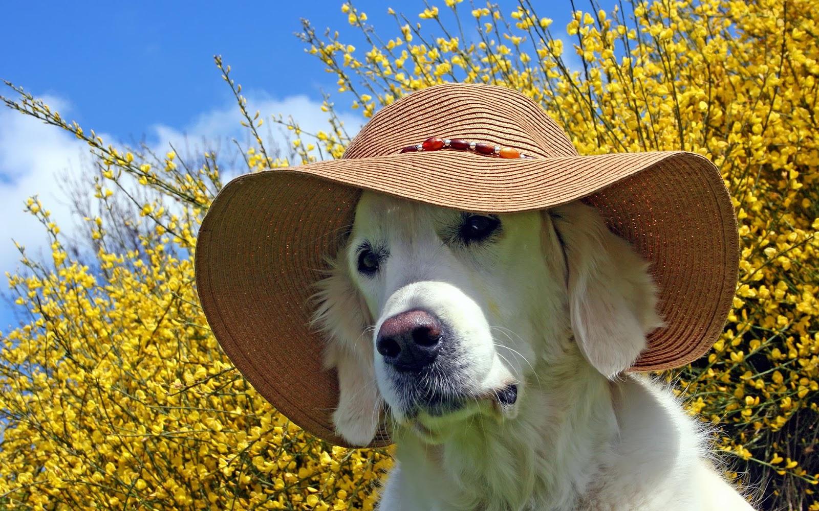 Leuke honden wallpaper met een hond met hoed op zijn of haar kop