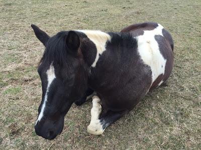 my paint gelding horse Dallas, lying in the sun