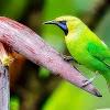 Cara Mengatasi Burung Cucak Ijo Yang Sering Menggaruk Bulu