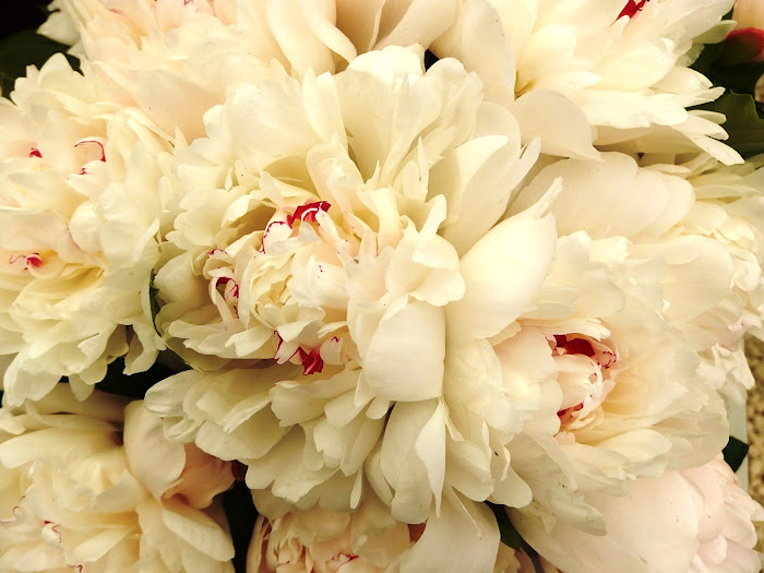 Paeonia lactiflora 'Avalanche'