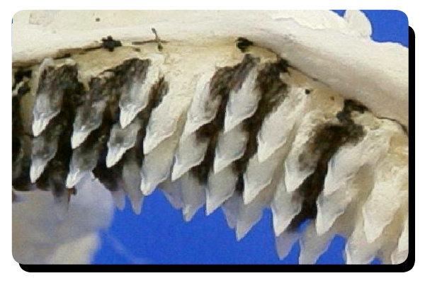 Somniosus microcephalus teeth