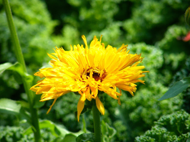 Double Form Yellow Calendula Bloom