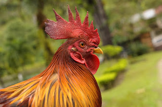 ℛooster and the Hen Became Friends Short Story African Folklore