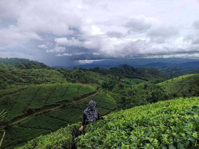 foto kebun teh cipasung majalengka