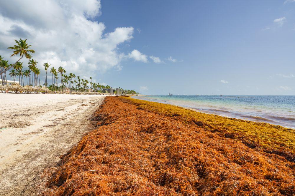 sargassum on beach