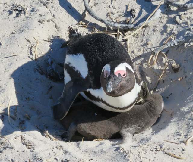African Penguin and baby
