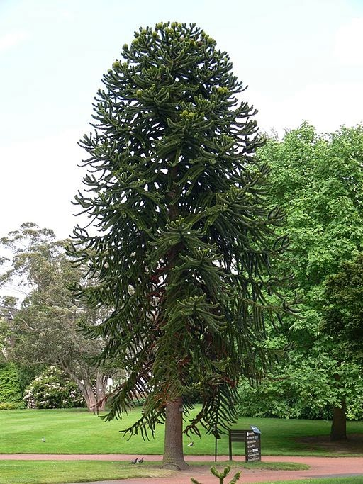 An image of a mature monkey puzzle tree by Prashanthns - Wikimedia Commons