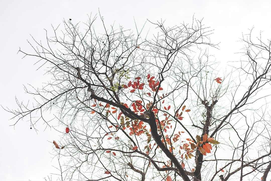 Cây lá đỏ