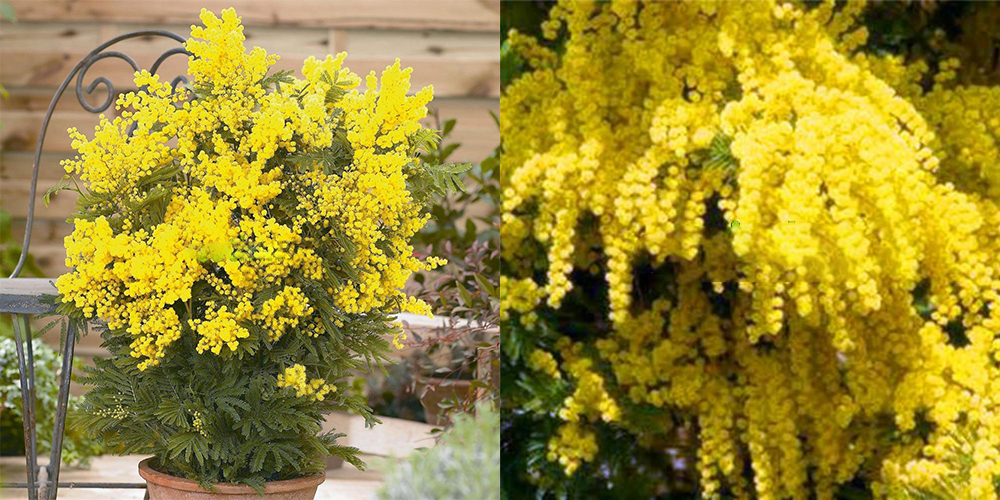 50pcs golden mimosa seeds beautiful acacia baileyana yellow wattle 50pcs golden mimosa seeds beautiful acacia baileyana yellow wattle flower seeds mightylinksfo