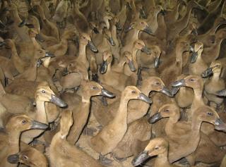 Tips Untuk Ternak Bebek Pedaging Agar Cepat Besar