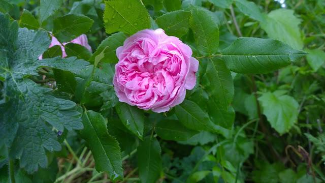 rosa Jacques Cartier (c) by  Joachim Wenk