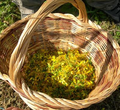 iperico erbe aromatiche officinali e spontanee rose orto nel giardino visitabile della fattoria didattica dell ortica a Savigno Valsamoggia Bologna vicino Zocca nell Appennino