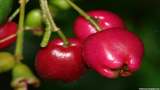 Lillypilly fruit images wallpaper