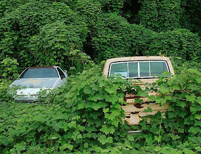 Kudzu covering an abandoned car and Ford pickup truck