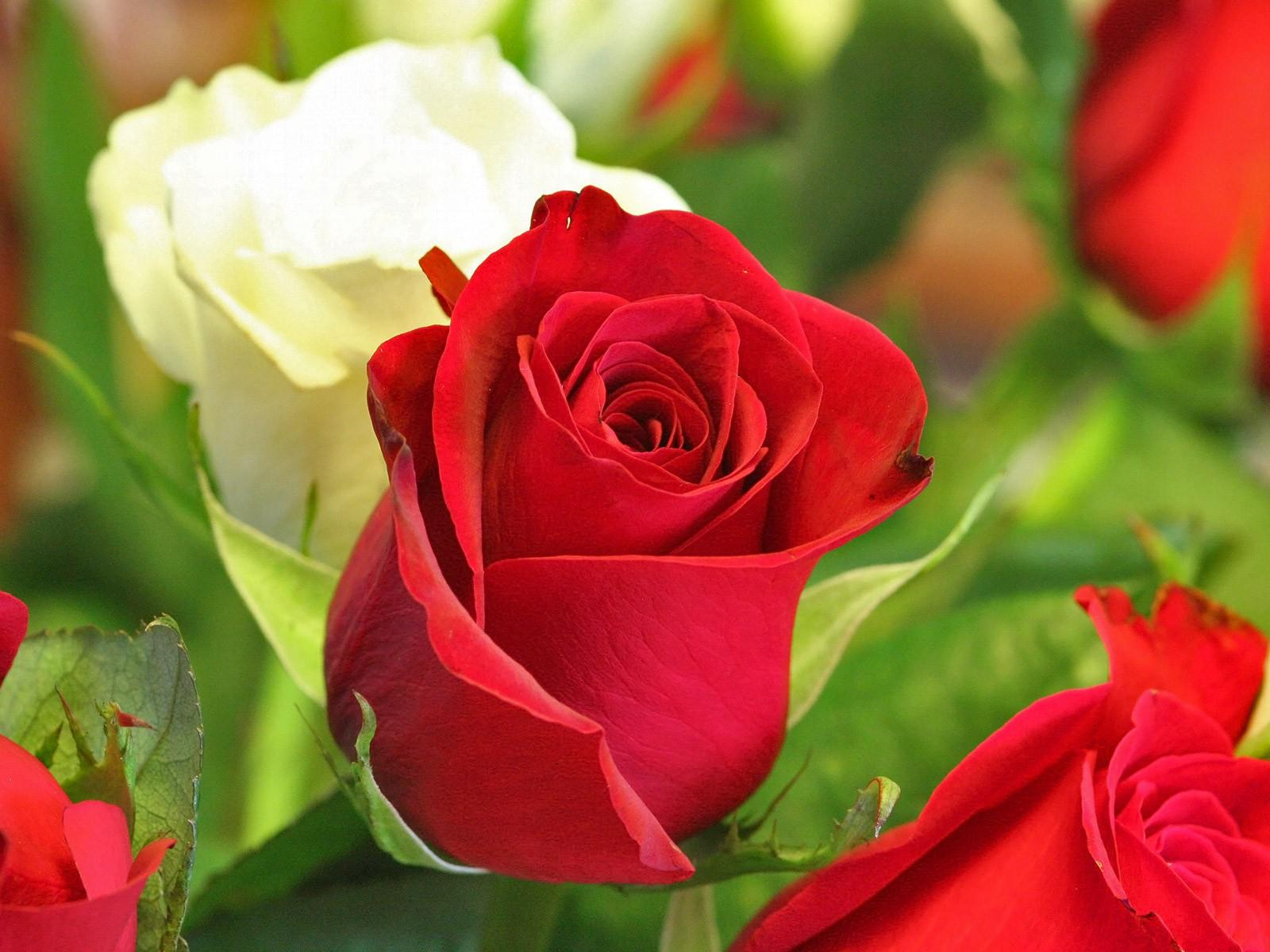 Pictures world 1600 1200 beautiful red rose wallpaper - Pretty roses wallpaper ...