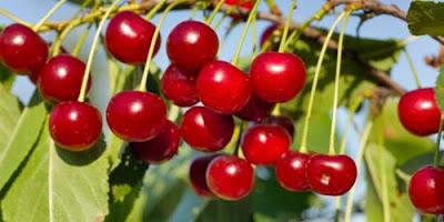 http://mustahabbah.blogspot.com/2017/01/khasiat-buah-ceri-ini-untuk-kesehatan.html