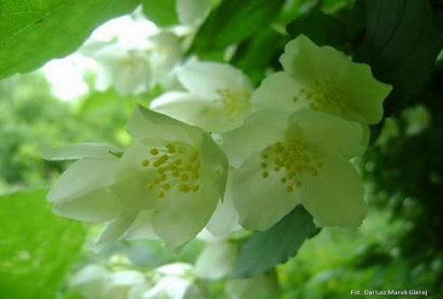 Zapach jaśminu- wiersz Jolanty Marii Dzienis fot. Dariusz Marek Gierej
