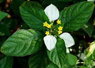 Khasiat Bunga Nusa Indah Putih Untuk Kesehatan