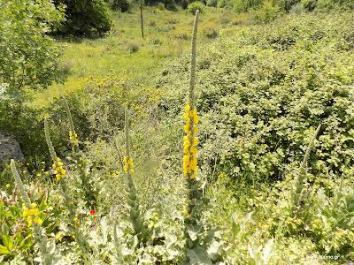 Μάιος-Φλόμος: Βότανα και φαρμακευτικά φυτά της Ελλάδας