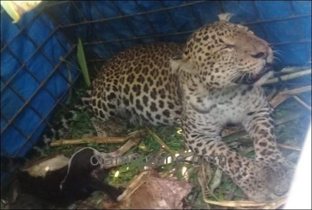 Macan Tutul Cikupa Dilepasliarkan ke Habitatnya