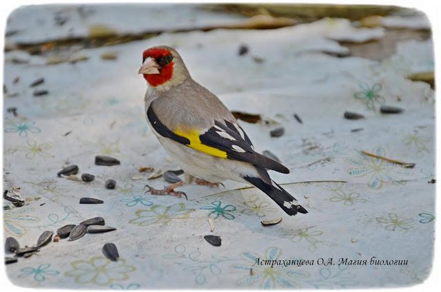 седоголовый щегол, щелкает семечки, магия биологии, птица с красным лицом