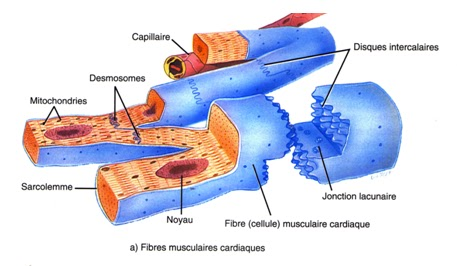 cardiomyocyte disques intercalaires fibres musculaires cardiaques infirmier
