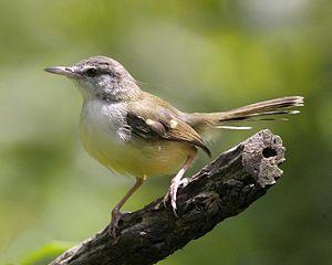 Cara Mudah Cepat Menjinakn Burung Ciblek
