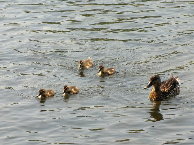 baby ducks with mom